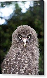 owl Acrylic Print by Fizzy Image
