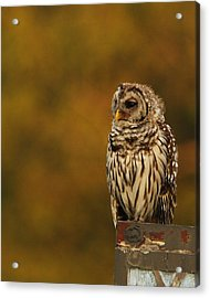 Owl On A Fence Acrylic Print