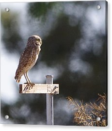 Owl Profile Acrylic Print by David Rizzo