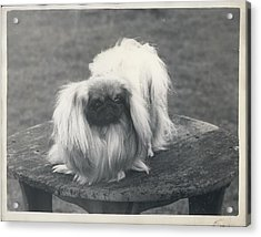 Owner- Refuses £10,500 Offer For Pekinese Acrylic Print by Retro Images Archive