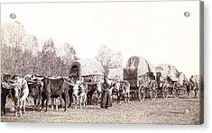 Ox-driven Wagon Freight Train C. 1887 Acrylic Print by Daniel Hagerman