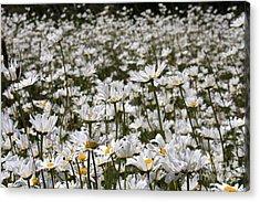 Ox Eye Daisies Acrylic Print