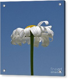 Oxeye Daisy Acrylic Print by Dee Cresswell
