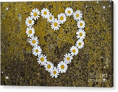 Oxeye Daisy Heart Acrylic Print by Tim Gainey