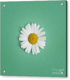 Oxeye Daisy Square Green Acrylic Print
