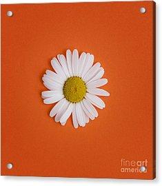 Oxeye Daisy Square Orange Acrylic Print