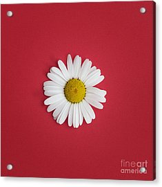 Oxeye Daisy Square Red Acrylic Print
