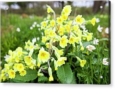 Oxlips Growing In Oxenber Woods Acrylic Print by Ashley Cooper