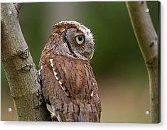 Pablo The Screech Owl Acrylic Print by Arthur Dodd