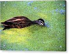 Pacific Black Duck In Algae Acrylic Print