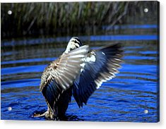 Acrylic Print featuring the photograph Pacific Black Duck by Miroslava Jurcik