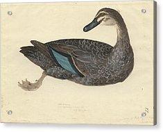 Pacific Black Duck Acrylic Print