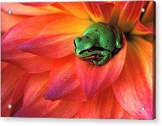 Pacific Chorus Frog On Dahlia Acrylic Print