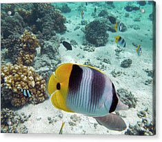 Pacific Double-saddle Butterflyfish Acrylic Print by David Wall