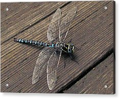 Pacific Forktail Acrylic Print