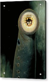 Pacific Lamprey Acrylic Print by Rondi Church
