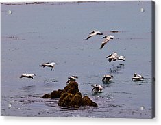 Pacific Landing Acrylic Print by Melinda Ledsome