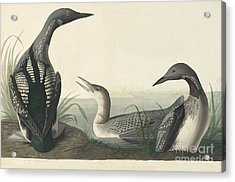 Pacific Loon  Acrylic Print by Celestial Images