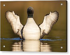 Pacific Loon Wing Flap Acrylic Print by Tim Grams