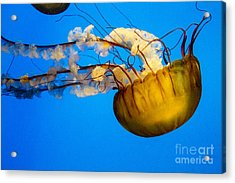 Pacific Nettle Jellyfish Acrylic Print by Darleen Stry