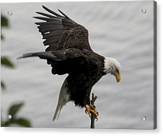 Pacific Northwest Eagle  Acrylic Print by Mary Gaines