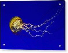 Pacific Sea Nettle Acrylic Print