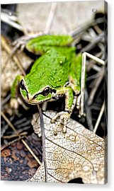 Pacific Tree Frog 2a Acrylic Print by Sharon Talson