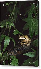 Pacific Tree Frog North America Acrylic Print by Gerry Ellis