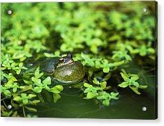 Pacific Tree Frog  Pseudacris Regilla Acrylic Print by Robert L. Potts