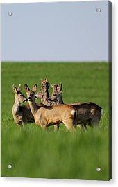 Pack Of Roe Deer Acrylic Print by Dragomir Felix-bogdan