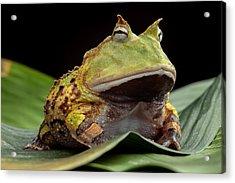 Pacman Frog  Acrylic Print by Dirk Ercken