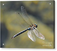Acrylic Print featuring the photograph Paddletail Darner In Flight by Vivian Christopher