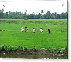 Paddy Field Workers Acrylic Print
