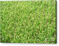 Acrylic Print featuring the photograph Paddy Field by Yew Kwang