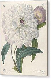 Paeonia Flagrans Peony Acrylic Print by Pierre Joseph Redoute