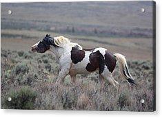 Paint Mustang Stallion Acrylic Print