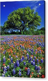 Paintbrush And Bluebonnets - Fs000057 Acrylic Print