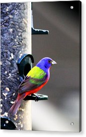 Painted Bunting - Img 9757-002 Acrylic Print