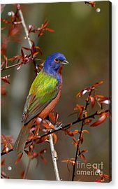 Painted Bunting - Male Acrylic Print by Kathy Baccari