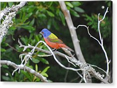 Painted Bunting Out On A Limb Acrylic Print