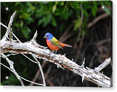 Painted Bunting Perched On Limb Acrylic Print