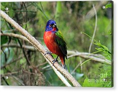 Acrylic Print featuring the photograph Painted Bunting Photo by Meg Rousher