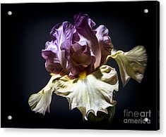 Painted Iris Acrylic Print by Holly Martin