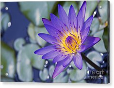 Painted Islands Of Summer Lilies - The Lotus Blossom Acrylic Print by Sharon Mau