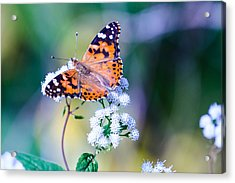Painted Lady Butterfly 1 Acrylic Print