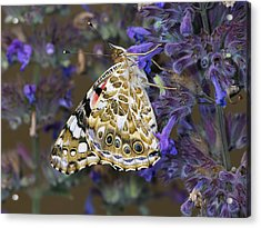 Painted Lady Butterfly Netherlands Acrylic Print