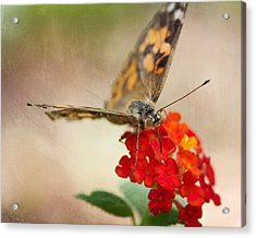 Painted Lady II 8x10 Acrylic Print by Pamela Gail Torres