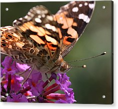 Painted Lady On Butterfly Bush Acrylic Print