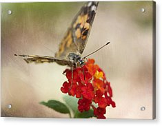 Painted Lady Acrylic Print by Pamela Gail Torres