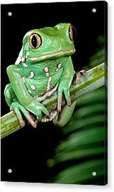 Painted Monkey Frog Phyllomedusa Acrylic Print by David Northcott